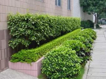 绿篱植物品种图片; 成都别墅庭院绿化;