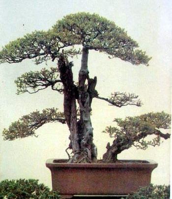 中国盆景欣赏及制作三
