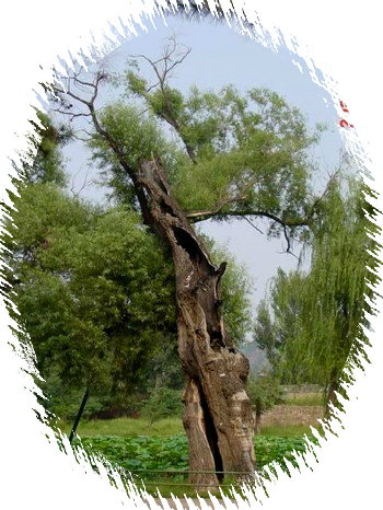中国盆景欣赏及制作技艺(三) - 红叶 - 日知斋
