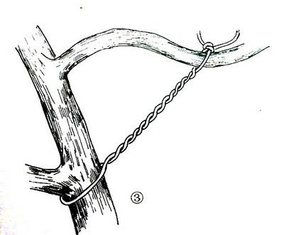 盆景造型:棕丝攀扎示意图 - 红叶 - 日知斋