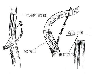 盆景树桩的造型加工:枝条弯曲的方法 - 红叶 - 日知斋